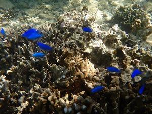 熱帯魚観察しながらシュノーケリング