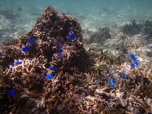 熱帯魚いっぱいんの海でシュノーケリング