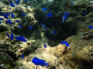 青い熱帯魚とシュノーケリング