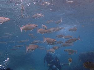 沢山の魚と一緒に泳ぐ体験ダイビング