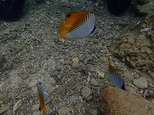 可愛い熱帯魚に餌付け 体験ダイビング