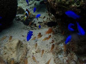 色々な熱帯魚がすむ海で体験ダビング