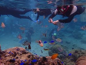 カラフルたくさんの熱帯魚が集まるシュノーケリング餌付け体験