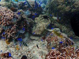 シュノーケリング珊瑚とお魚