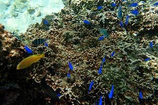 カラフルな熱帯魚達が沢山見れるシュノーケリング
