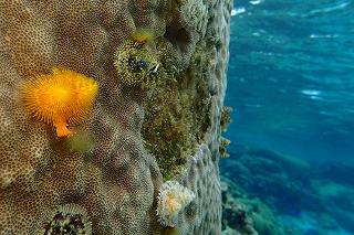ダイビング 珊瑚の花