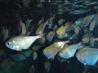 青の洞窟シュノーケリング 洞窟内の魚達