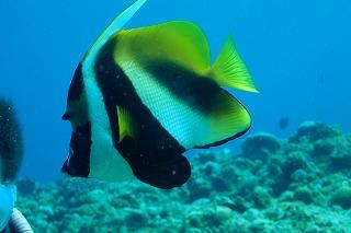 カラフルな熱帯魚と一緒にダイビング