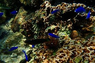 自然の珊瑚礁シュノーケリング