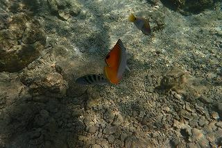 沖縄シュノーケリングチョウチョウウオ