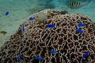 珊瑚と瑠璃スズメダイ