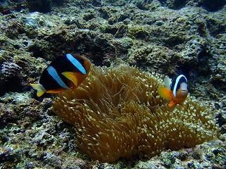 シュノーケルで珊瑚にクマノミ