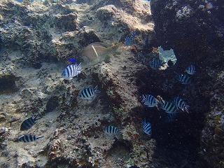 沖縄ダイビング 熱帯魚