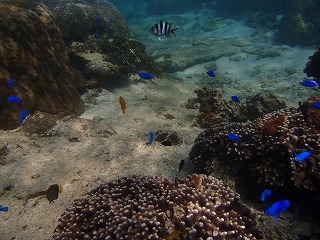 沖縄シュノーケリング 熱帯魚
