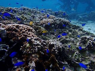 綺麗な熱帯魚 シュノーケリング