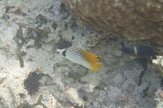 綺麗な黄色の熱帯魚 シュノーケリング