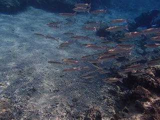 シュノーケリング 小魚がたくさん!