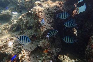 ダイビング沖縄 熱帯魚