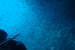 ダイビング 子魚たち!