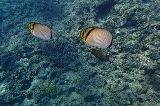 青の洞窟シュノーケリング 熱帯魚と