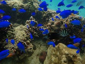 熱帯魚たくさんの海でシュノーケリング