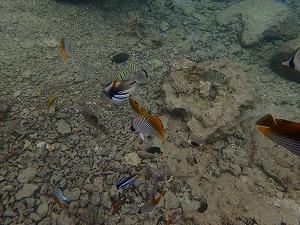 シュノーケリングで熱帯魚観察