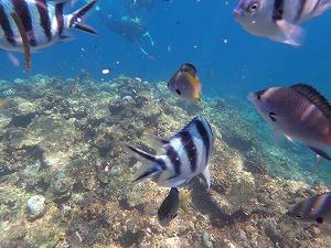カラフル熱帯魚と一緒に泳ぐシュノーケリング