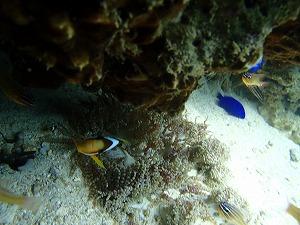 沖縄ダイビング人気のクマノミ