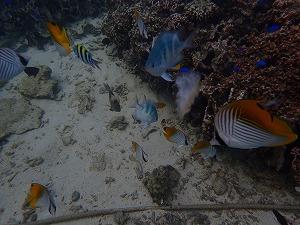 シュノーケリングで沢山の熱帯魚に餌付け