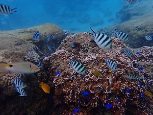 沢山の熱帯魚と一緒にシュノーケリング