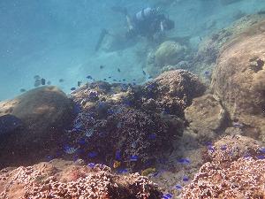 シュノーケリングポイント熱帯魚たくさん