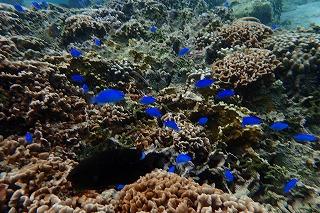 シュノーケルする海の中は沢山の熱帯魚がいっぱい