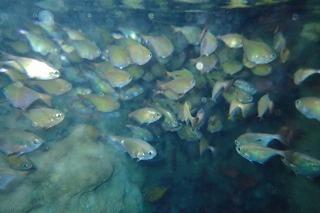 リュウキュウハタンポ 青の洞窟
