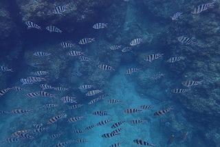 シュノーケリング中に見たお魚達