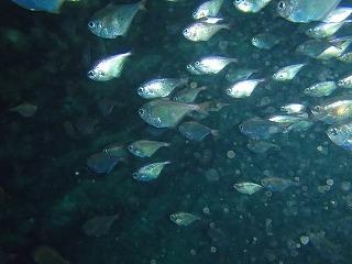 たくさんの子魚 青の洞窟へシュノーケリングで