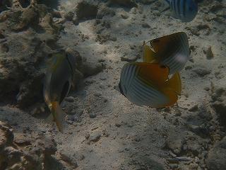 シュノーケリングでかわいい熱帯魚観察