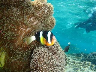 きれいな熱帯魚 シュノーケリング