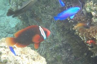 クマノミ 熱帯魚 シュノーケリング