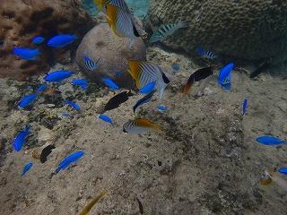 きれいなブルーの熱帯魚