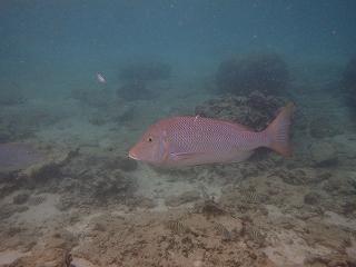 沖縄sグノーケリング こんなにおおきな魚も!