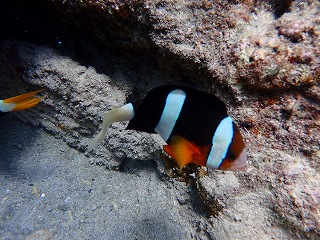 青の洞窟ダイビング クマノミ発見☆