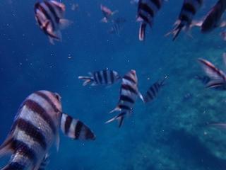 青の洞窟シュノーケリング お魚たち
